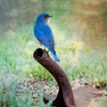 Eastern Blue Bird and Western Shovell